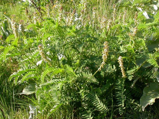 Astragalus - 1