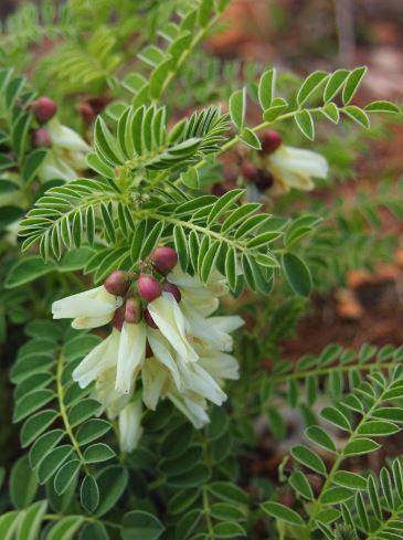 Astragalus - 4